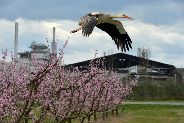 Stork in flight in front of the Caviro Extra plant